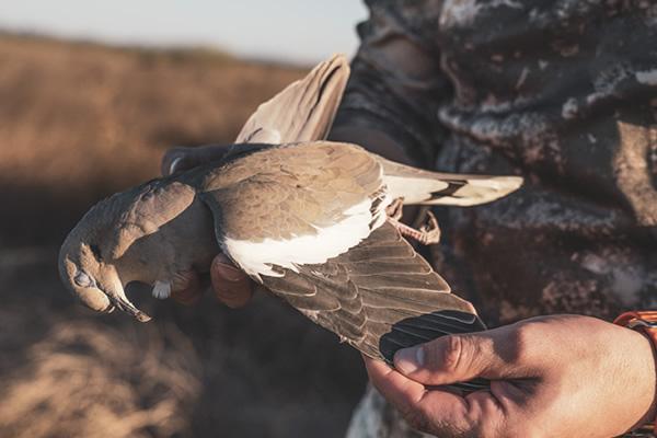 Mark Peterson White-winged Dove
