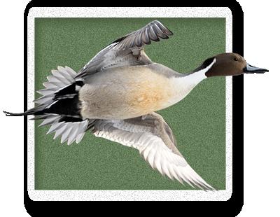 Northern Pintail