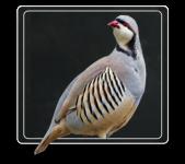chukar-partridge